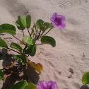 Railroad Vine or Sea Bean