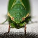 Bladder Cicada