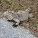 Little Cayman Rock Iguana