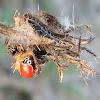 Western Blood-Red Lady Beetles
