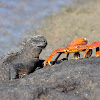 Marine Iguana and Sally Lightfoot Crab