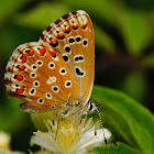 Polyommatus bellargus