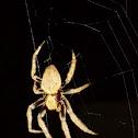 Garden Orb Web Spider