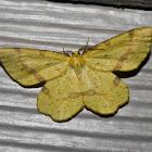Rufous Geometer Moth