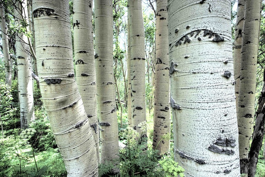 Rocky Mountain Aspens by Jim Downey - Nature Up Close Trees & Bushes ( groove, summer, perspective, aspens, ferns )
