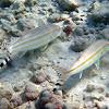 Bandtail Goatfish