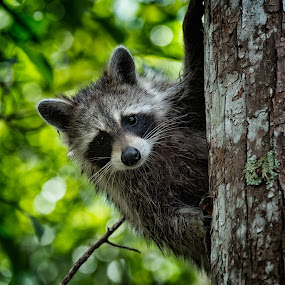 Rocky Racoon by Johannes Oehl - Animals Other Mammals ( procyon lotor, wilderness, florida, waschbär, everglades, forest, ah-tah-thi-ki, raccoon, usa, mammal, united states,  )