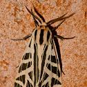 Tiger moth (male)