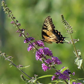 Butterfly by Missy Grove Horne - Novices Only Wildlife (  )