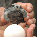 Sierra Negra tortoise (newly hatched)