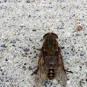 Pferdebremse or Dark Giant Horsefly