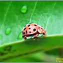 Twenty eight-spot Ladybird Beetle