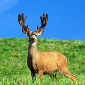 Deer Live Wallpaper | FREE Android app