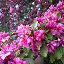 Trees in Bloom of Ontario