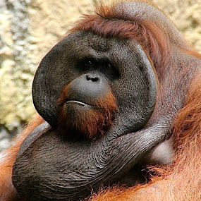 I`m cool.... by Cecilie Hansteensen - Animals Other Mammals ( cool, bali, face, other mammals, animals, indonesia, orangutang,  )