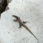 Madeira-Mauereidechse, Madeiran Wall Lizard