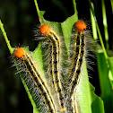 silky owl caterpillars