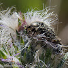 Hairy Flower Chafer Beetle