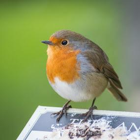Robin Redbreast by Simon Sweetman - Animals Birds ( robin, winter, red, christmas, redbreast )