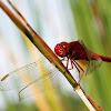 Red orthetrum