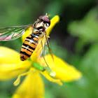 Marmelade Fly