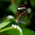 Oleria Clearwing