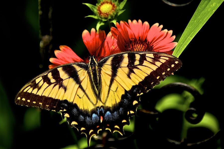Portrait of an Eastern Swallowtail by Kimberly Davidson - Animals Other ( butterfly, eastern swallowtail, nature, butterflies in the garden, wildlife, glardia arizonia sun,  )