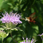 Hummingbird Clearwing
