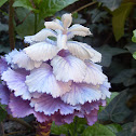 Ornamental Kale, Flowering Cabbage