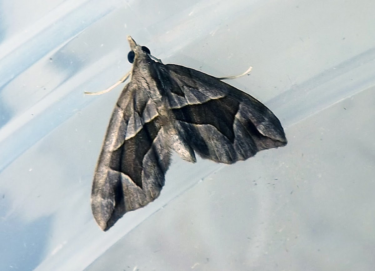 Triangle Forest Carpet (Moth)