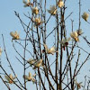 Magnolia x soulangeana - white