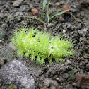 fire caterpillar