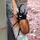 Yellow Five-horned Stag Beetle