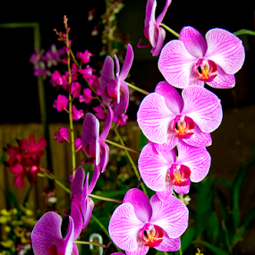 Orchids on show by Peter Keast - Flowers Flower Arangements ( orchid, bloom, show, flower,  )