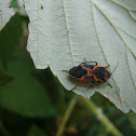 Maple Bug/ Boxelder bug