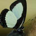 Psychonotis butterfly