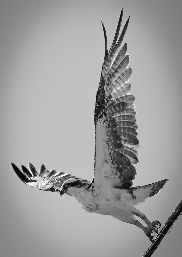 Free Fall by Jared Lantzman - Black & White Animals ( bird, sea hawk, birds, hawk,  )