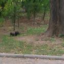 Common european squirrel/Veverica