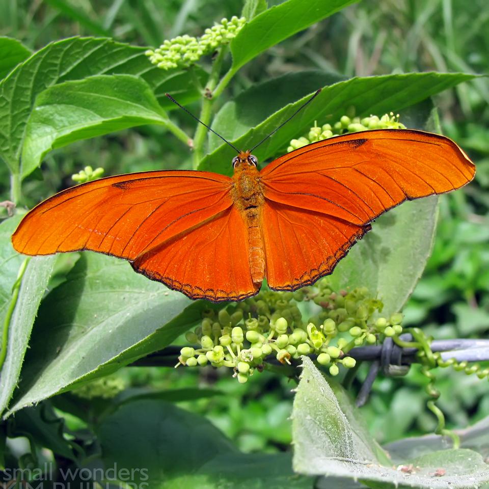 Julia Heliconian Butterfly - male