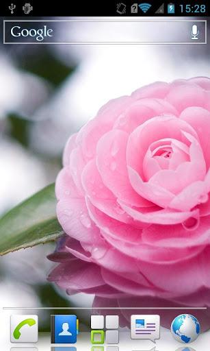 Camellia HD Live Wallpaper