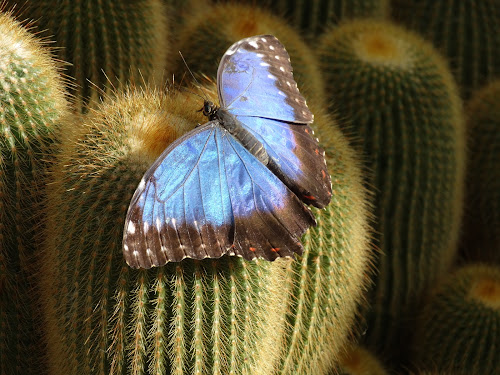 Butterfly by Iain Weatherley - Animals Insects & Spiders ( butterfly, cacti, blue, cactus,  )