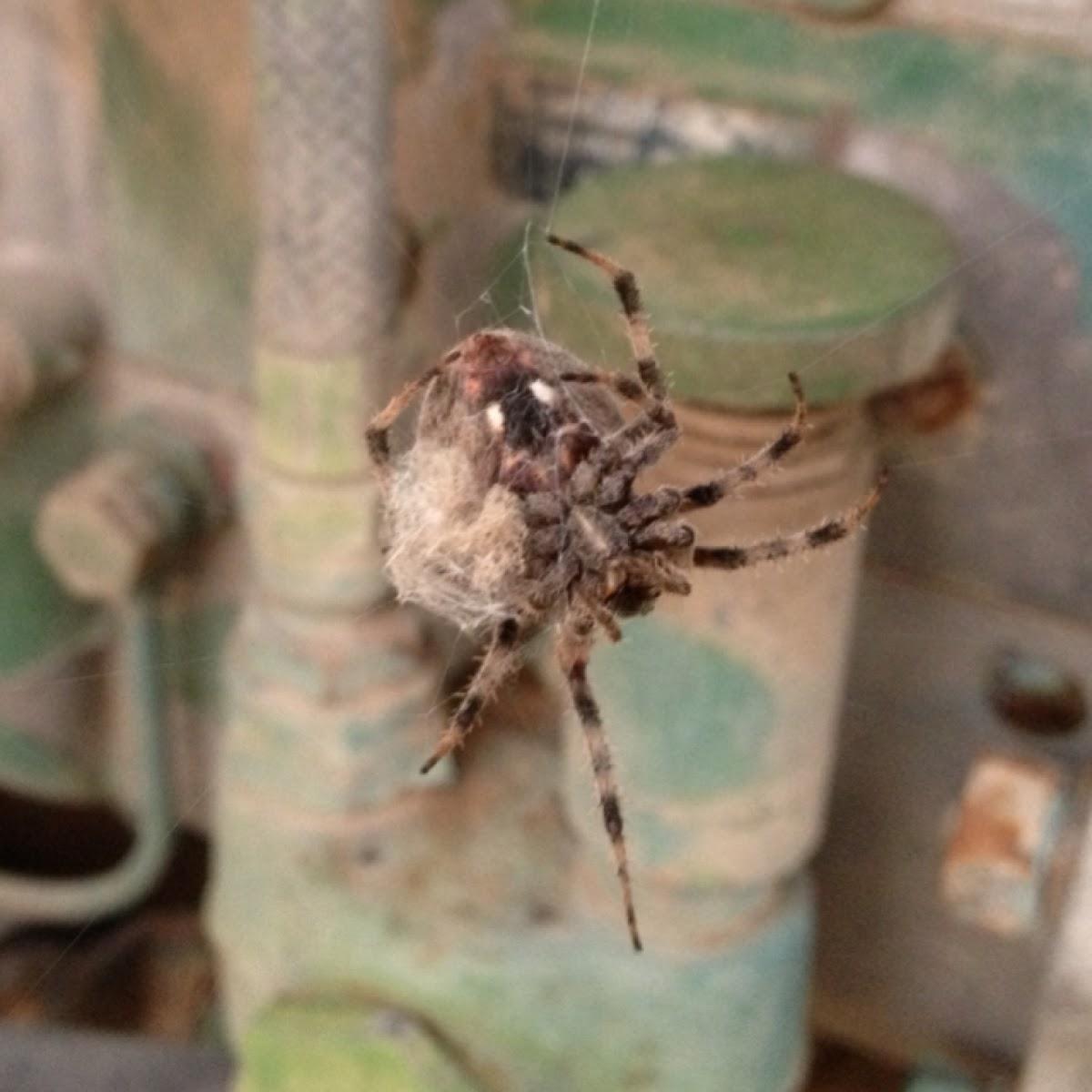 Hentz's Orbweaver (Female)