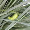 Gray Bird Grasshopper (nymph)
