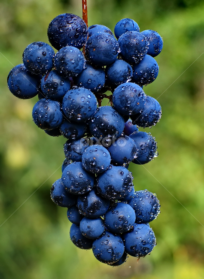 by Ad Spruijt - Nature Up Close Gardens & Produce ( grapes,  )