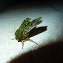 Green mahoe moth