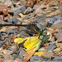 Black-Shouldered Spinyleg Dragonfly
