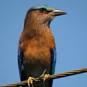 Indian Roller  by Asim Mandal - Animals Birds