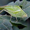 Leaf mimic katydid nymph