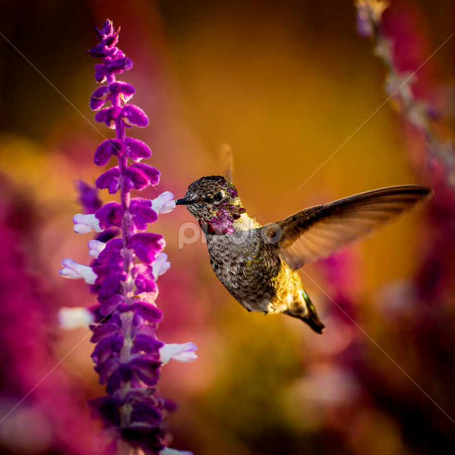 Anna's Hummingbird 2117 by Ken Wade - Animals Birds ( calypte anna, anna's hummingbird )