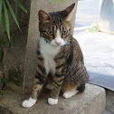 American shorthair mix